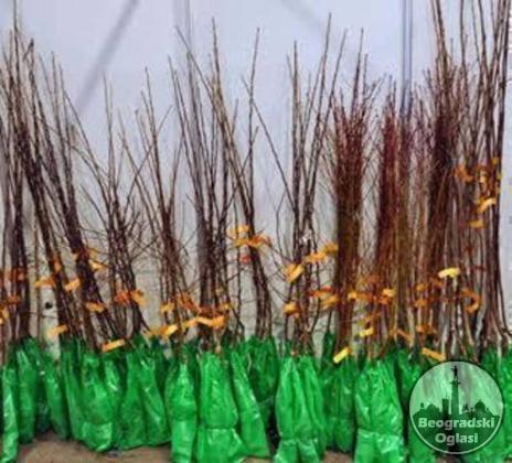 Rasadnik NASTIC - razne vrste sadnice