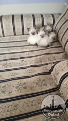 Sijamski macici