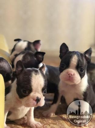 Jorkširski terijer i boston terijer štenci na prodaju