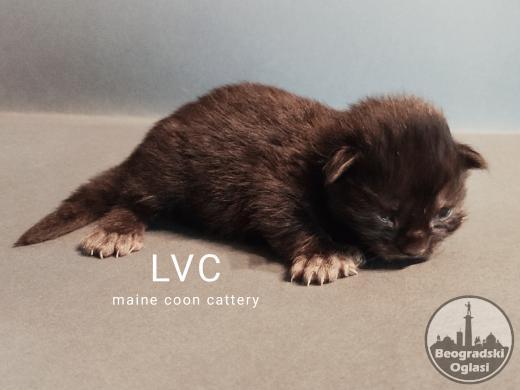 Maine Coon macici - cistokrvni i najsladji!