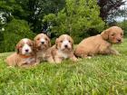 Prekrasno štene CAVAPOO dostupno za usvajanje