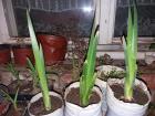 Iris Sibirski Sadnica
