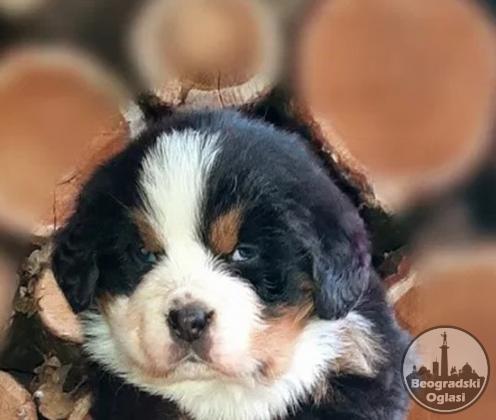 Bernski planinski pas i bernardinac štenci na prodaju