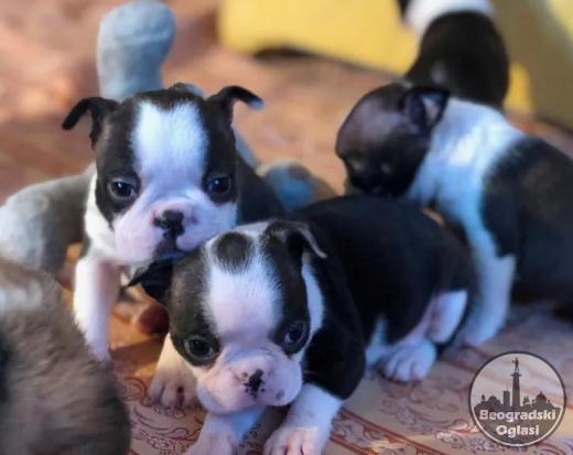 Boston terijer i jorkširski terijer štenci na prodaju