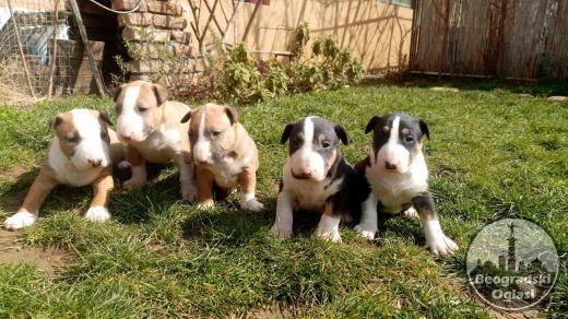 Bulterijer štenci