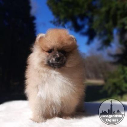 Pomeranac Boo čistokrvni  štenci