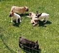 Francuski buldog, štenci
