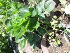 Prodajem sadnice stalnoradjajucih jagoda