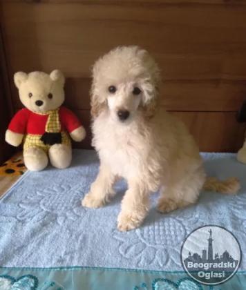 Pudla toy, patuljasta i srednja štenci na prodaju