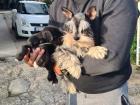 PATULJASTI ŠNAUCERI prelepi štenci