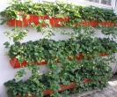 Sadnice stalnoradjajuce jagode