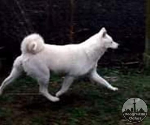 Akita Inu štenci izložbenog potencijala