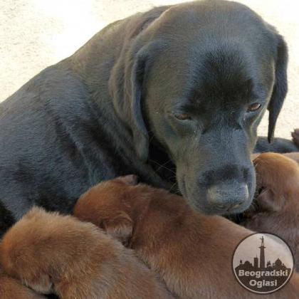 Labrador retriver izvanredno leglo