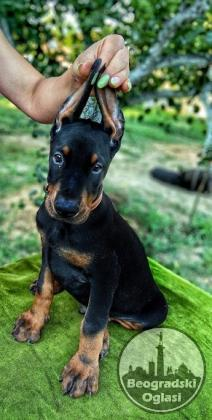 Doberman štenci
