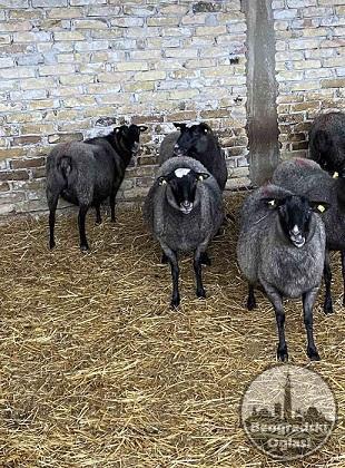 Romanovske ovce i siljegice