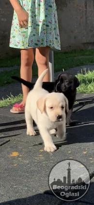 LABRADOR RETRIVER - vrhunski štenci