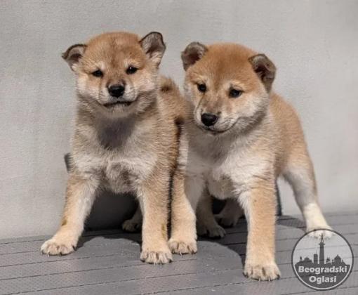 Šiba inu i šar pej štenci na prodaju