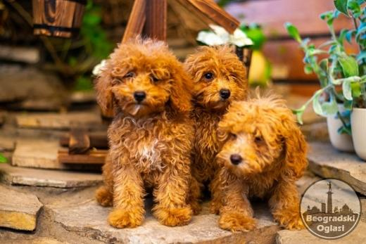 Crvene pudle štenci