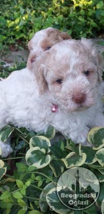 Lagoto Romanjolo čistokrvni štenci