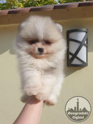 Pomeranac BOO prelepi štenci