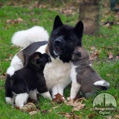 Američka Akita vrhunski štenci