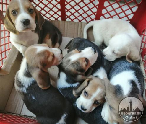 Bigl štenci na prodaju