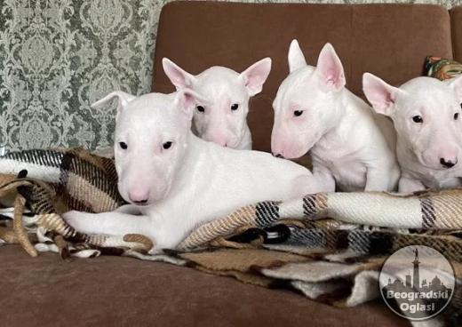 Bulterijer i dogo argentino štenci na prodaju