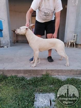 Dogo Argentino, odrasli psi